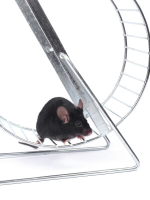 little mouse on an exercise wheel